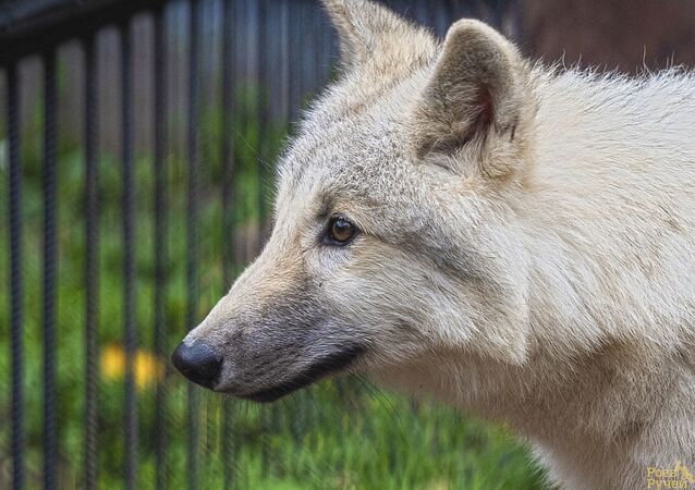 Polární vlk v krasnkojarské zoo Roev potok