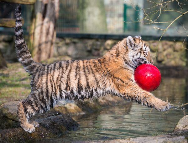 Tygří dětství - Sputnik Česká republika
