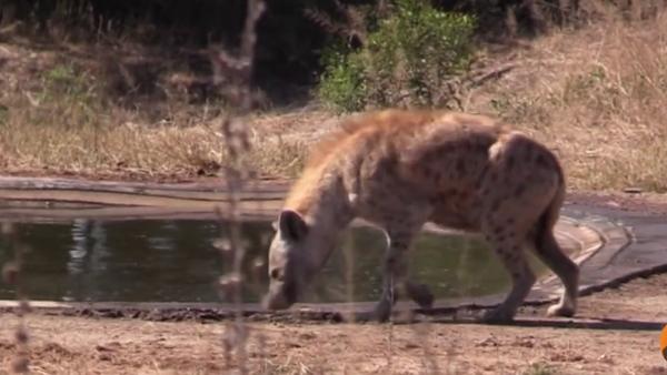 Hyena - Sputnik Česká republika