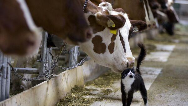 Kráva strká čumákem do kočky na farmě v Granby - Sputnik Česká republika