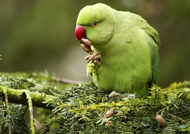 Papoušek Alexandr malý