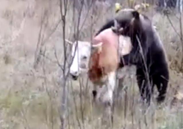 Medvěd s býkem