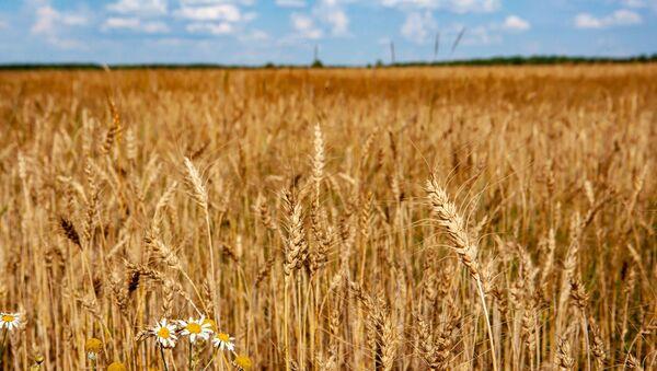 Pšeniční pole - Sputnik Česká republika