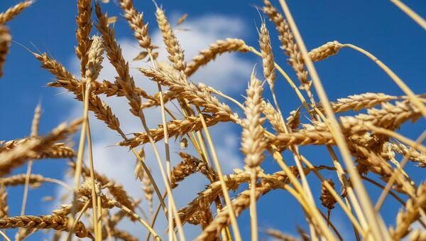 Pšenice v Rusku - Sputnik Česká republika