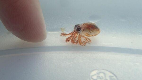 Malá chobotnice o velikosti hrášku, Havaj. - Sputnik Česká republika