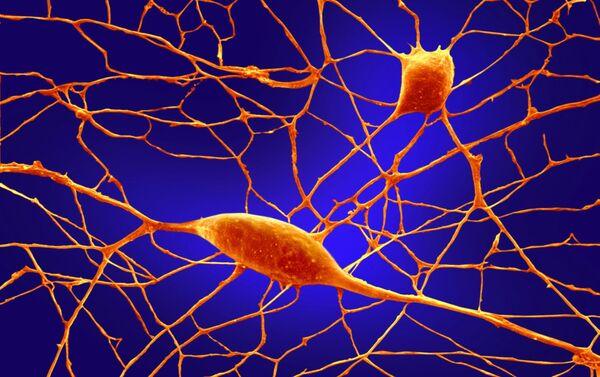 Purkyňovy neurony - Sputnik Česká republika