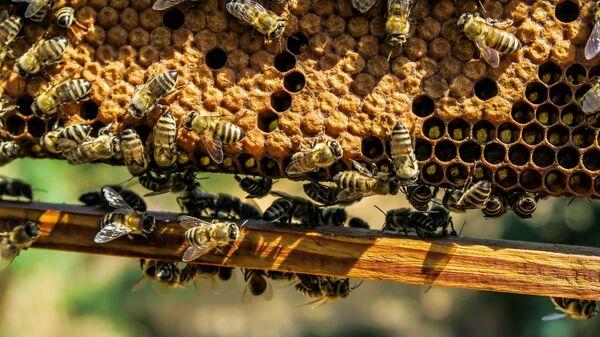 Пчелы рядом с сотами - Sputnik Česká republika