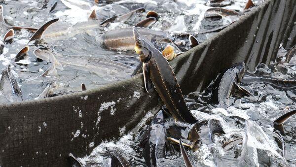 Jeseter v umělém chovu ryb - Sputnik Česká republika