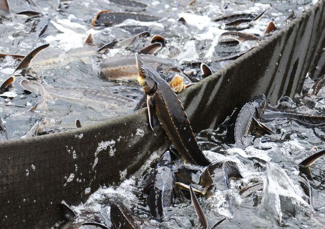 Jeseter v umělém chovu ryb