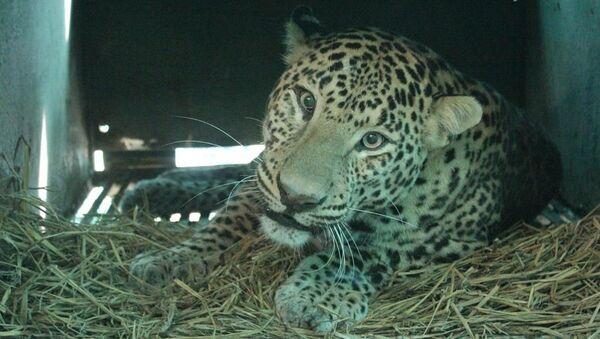 Leopard poražený autem - Sputnik Česká republika