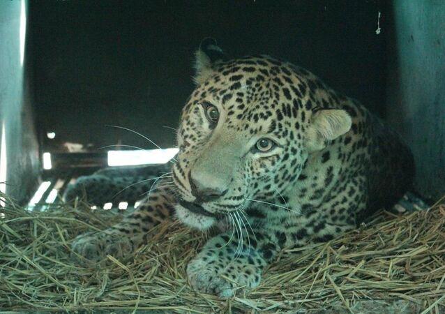 Leopard poražený autem
