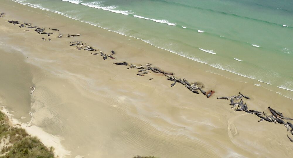"""Na Novém Zélandu se na břeh dostalo přes 140 """"černých delfínů"""""""