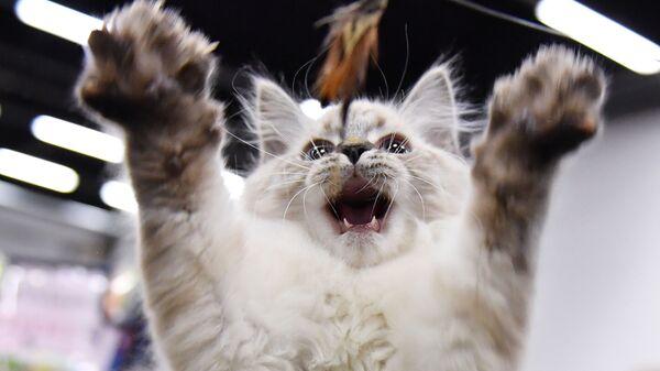 Кошка на выставке КоШарики Шоу в конгрессно-выставочном центре «Сокольники» в Москве - Sputnik Česká republika