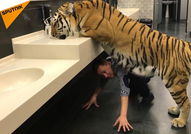 Tygřice pohrdá lidmi a genderovými normami v pánské toaletě