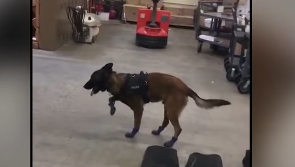 Policejní psi dostali botky pro práci na ulici - Sputnik Česká republika