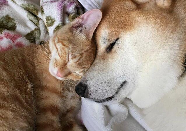 Shiba-inu a kočka: neuvěřitelné přátelství je možné!