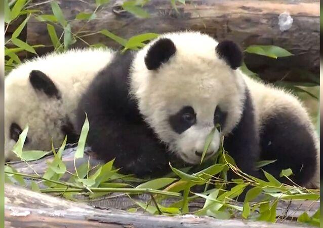 Pandí dvojčata, která se narodila v červenci, byla poprvé představena veřejnosti