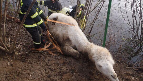 Záchrana velblouda na Příbramsku - Sputnik Česká republika