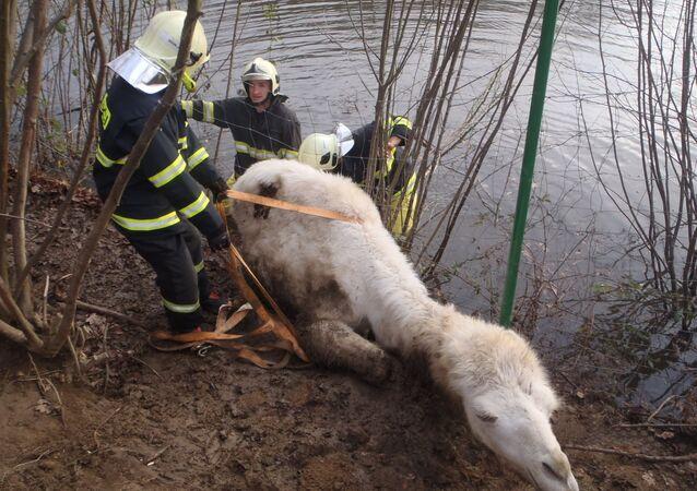 Záchrana velblouda na Příbramsku