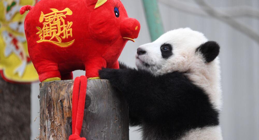 Panda se hračkou ve tvaru prasete