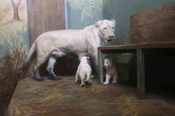 Bílá lvíčata v hodonínské zoo! - Sputnik Česká republika