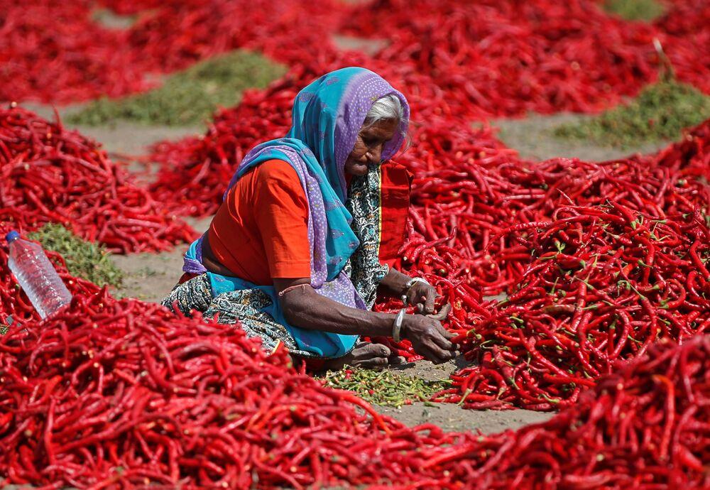 Indická žena zpracovává červené chilli papričky poblíž města Ahmadábád.