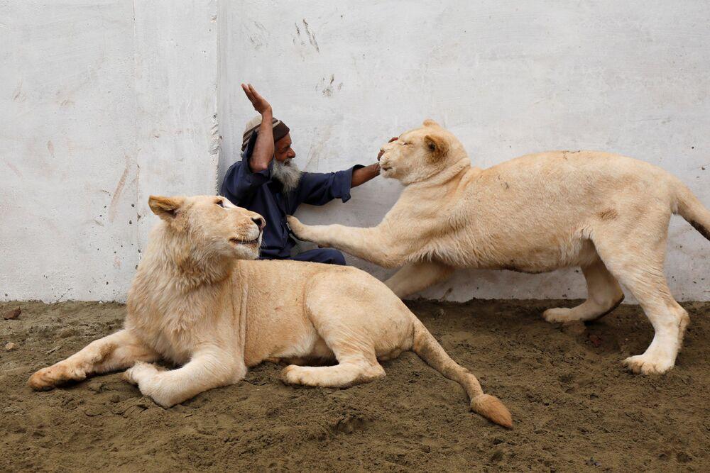 Hlídač zvířat si hraje se lvy ve výběhu, který byl vybudován v domě na okraji pákistánského Péšaváru.