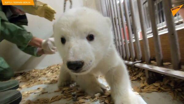 To je holka! Berlínské zoo odhalilo pohlaví ledního medvíděte - Sputnik Česká republika