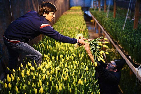 Sklizení tulipánů před Mezinárodním dnem žen. Skleník společnosti Alexija v Novosibirsku, Rusko - Sputnik Česká republika