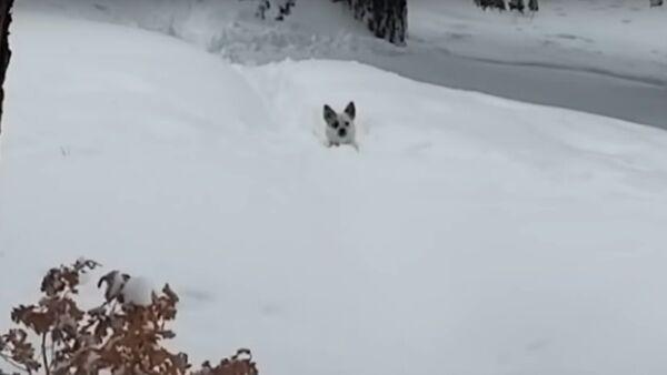 Záchrana malého pejska ze sněhového zajetí v Coloradu - Sputnik Česká republika