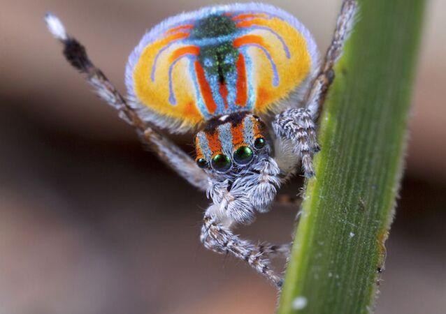 Samec pavích pavouků