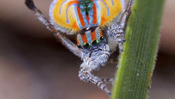 Samec pavích pavouků  - Sputnik Česká republika