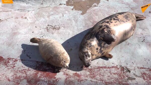 V kaliningradské zoo se narodila tři roztomilá tulení mláďata - Sputnik Česká republika