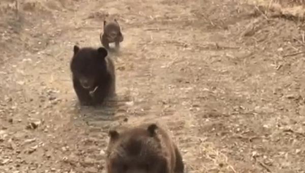 Tři roztomilí medvídci na první procházce v jejich životě - Sputnik Česká republika