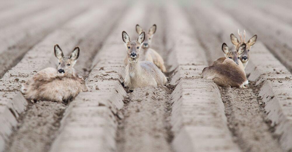 Srnky odpočívají na poli poblíž Algermissenu v Německu