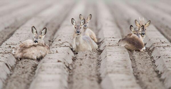 Srnky odpočívají na poli poblíž Algermissenu v Německu - Sputnik Česká republika