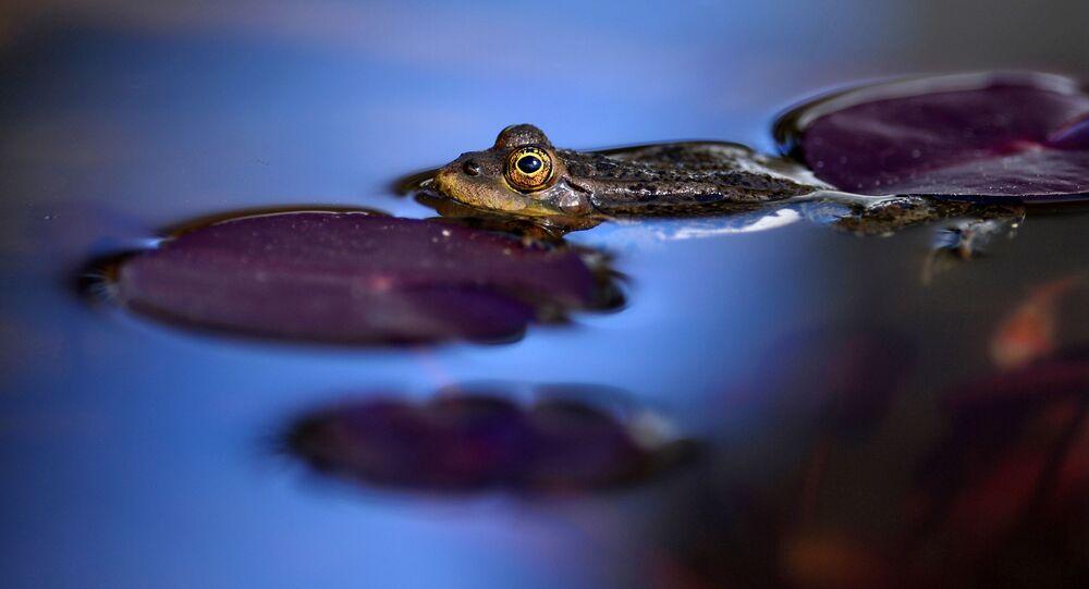 Žába v rybníku. Ilustrační foto