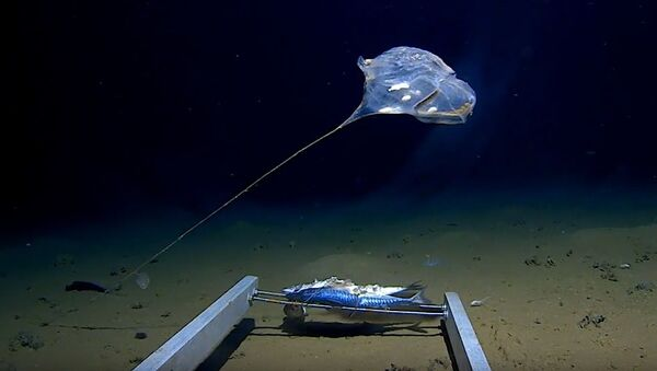 Záběr z video o podivném živočichu na dnu Indického oceánu - Sputnik Česká republika