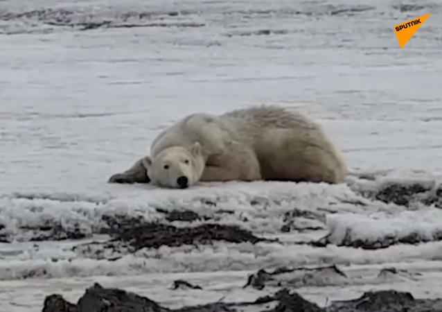 Lední medvěd na Kamčatce