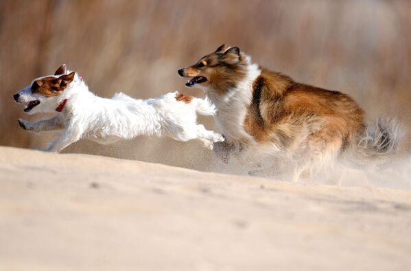 Jack Russell teriér a Sheltie během výcviku psů v Kazani, Rusko - Sputnik Česká republika