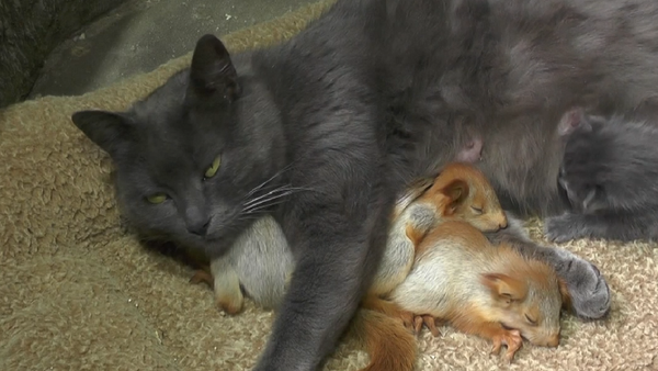 Mnohodětná matka. Na Krymu kočka adoptovala veverčí sirotky (VIDEO) - Sputnik Česká republika