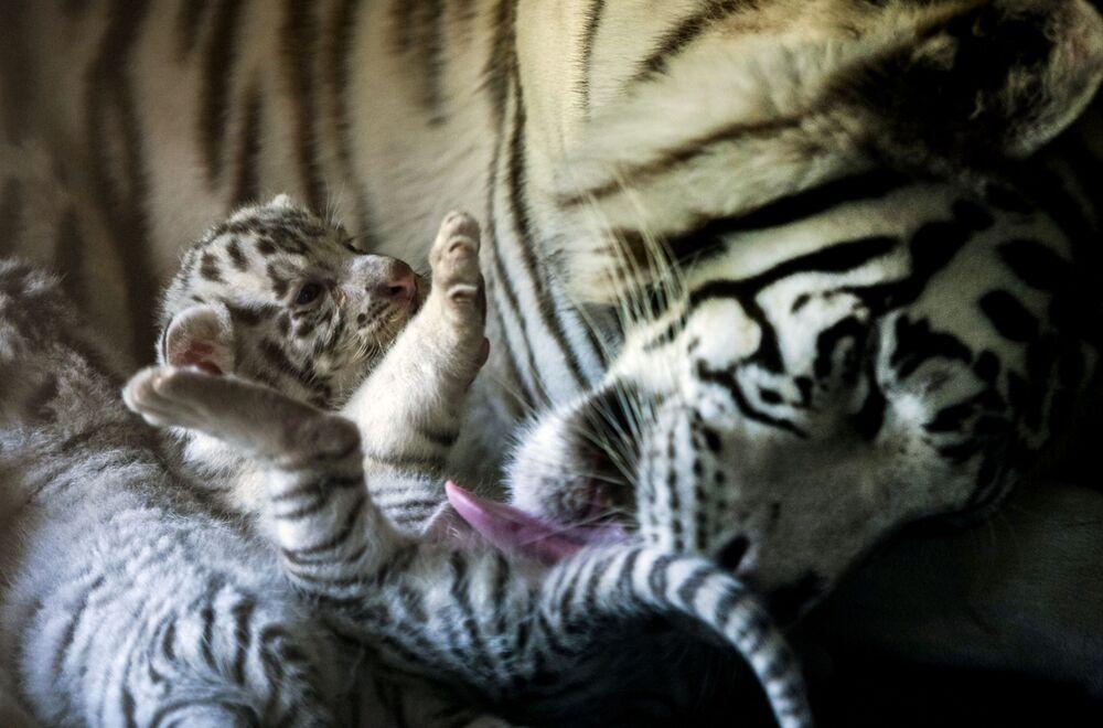 Bílá tygřice s novorozenětem v zoologické zahradě La Pastora, Mexiko