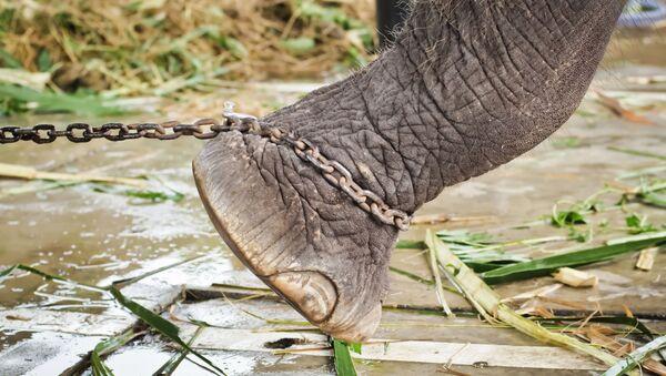 Nevinné zvíře zemřelo kvůli  nedbalosti úřadů. Krutá smrt slona byla natočena - Sputnik Česká republika