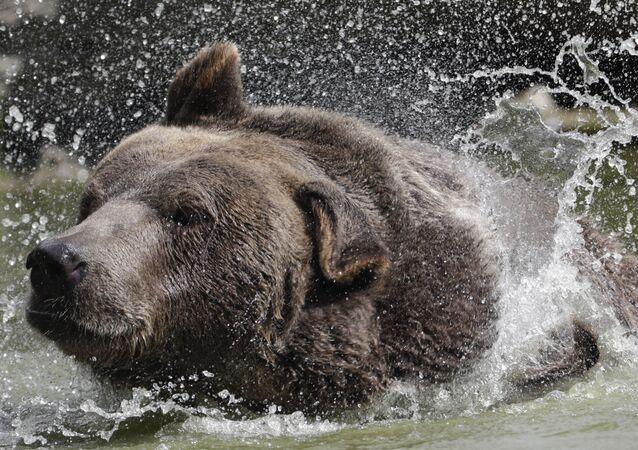 Medvěd syrský v americkém Orphaned Wildlife Center v Otisville. Ilustrační foto