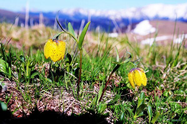Květiny na pastvině Abago v severní oblasti Kavkazské chráněné krajinné oblasti. - Sputnik Česká republika