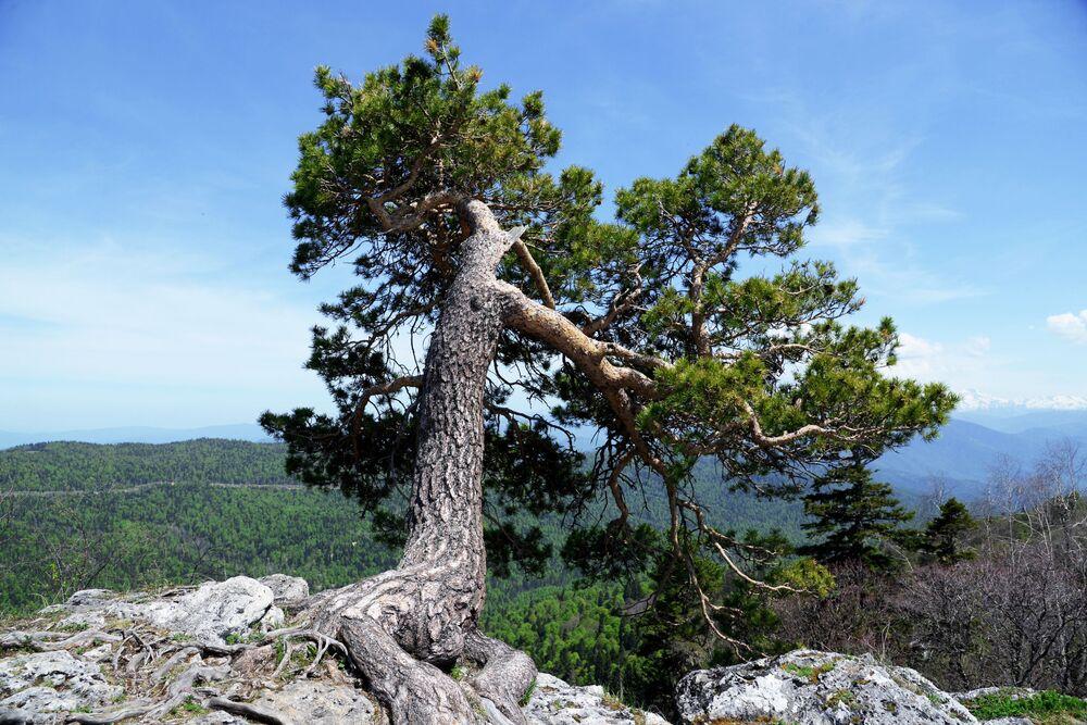 Strom na pokraji hory na náhorní plošině Lago-Naki v Kavkazské chráněné krajinné oblasti.