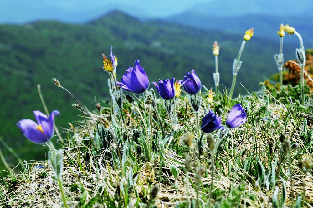 Květiny na náhorní plošině Lago-Naki v Kavkazské chráněné krajinné oblasti.